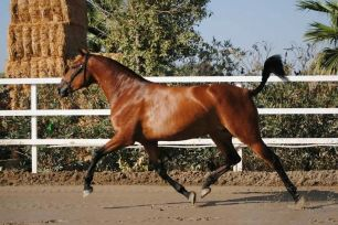 brown-mare-gise