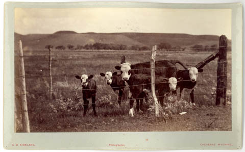 two-cows-and-calves